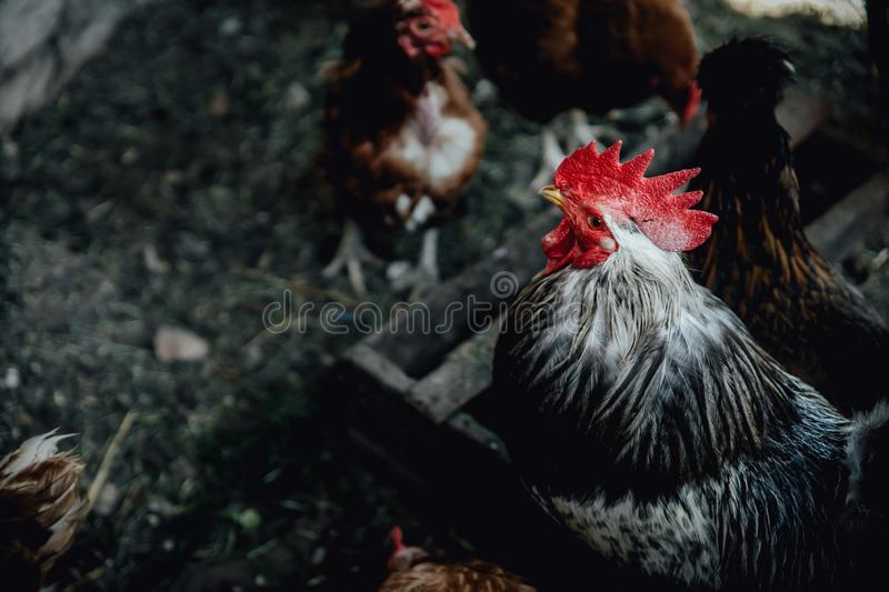 Brown female eggs hen standing show beautiful plumage feather  white background use for livestock and farm stock photos