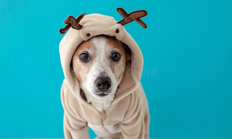 Dog wearing christmas deer costume royalty free stock photos