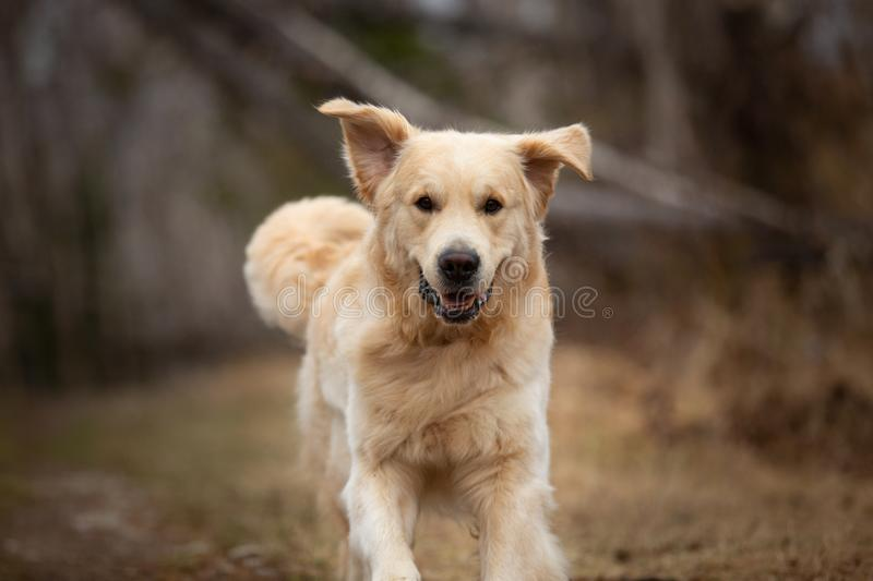 Funny, cute and happy dog breed golden retriever running in the forest and has fun at sunset. Close-up Portrait of Funny, cute and happy dog breed golden stock photos