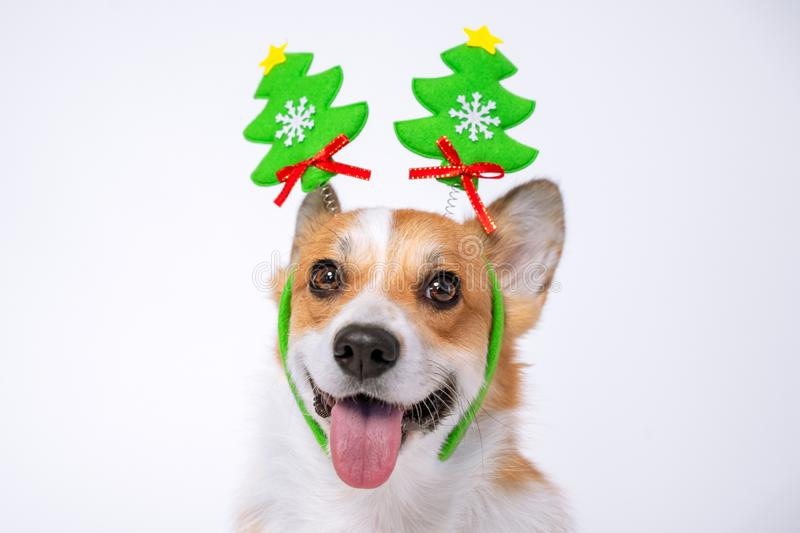 Close up portrait of funny cute red and white corgi wearing funny Christmas rim on the head, with green new year trees royalty free stock photos
