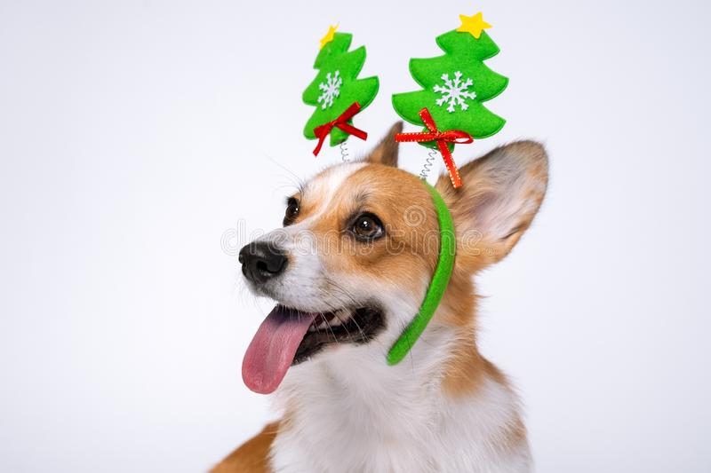 Close up portrait of funny cute red and white corgi wearing funny Christmas rim on the head, with green new year trees stock images