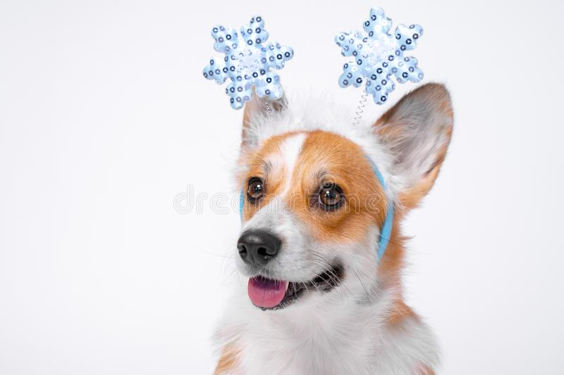 Close up portrait of funny cute red and white corgi wearing funny Christmas rim on the head, with shiny blue snowflakes royalty free stock photography