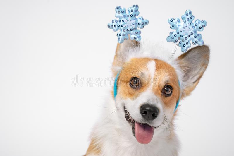 Close up portrait of funny cute red and white corgi wearing funny Christmas rim on the head, with shiny blue snowflakes stock photo