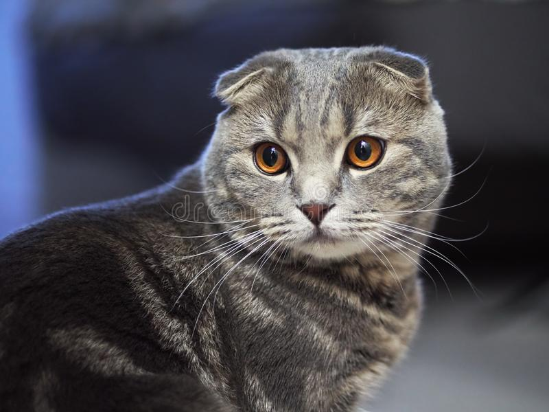 Close up portrait of funny serious scottish fold cat with bright yellow eyes with blurred dark blue background royalty free stock image
