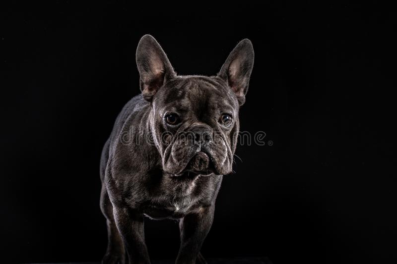 Close-up Portrait of Funny Smiled French Bulldog Dog and Curiously Looking, Front view royalty free stock photography