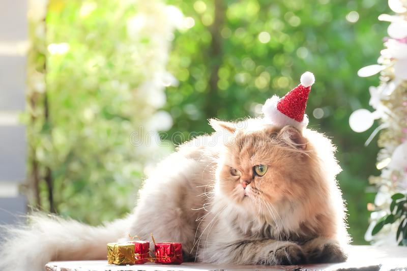 Cute cat , Golden cat Chinchilla in red christmas hats. Close-up Portrait of Furry British Cat Chinchilla, Cute cat ,golden cat Chinchilla stock photography