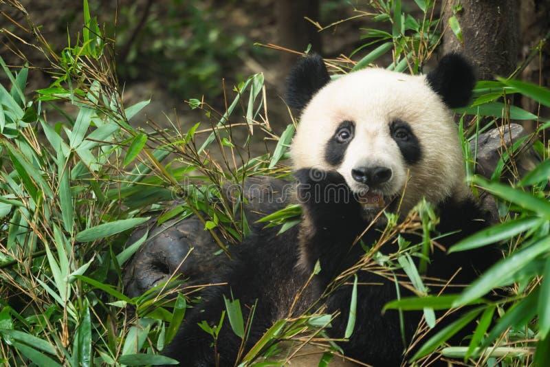 Giant panda eating bamboo leaves stock photo