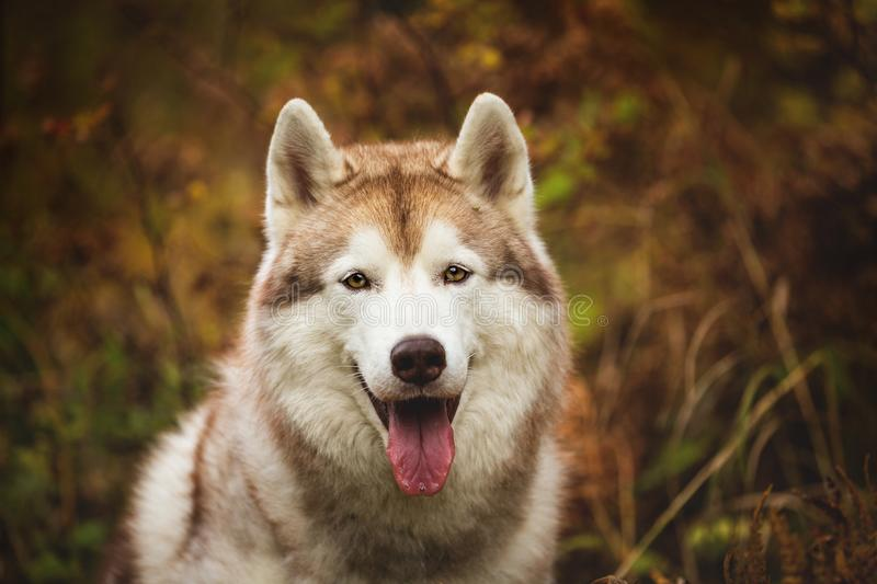 Close-up Portrait of gorgeous Beige Siberian Husky in fall season on a forest background. Image of husky dog in autumn royalty free stock photo