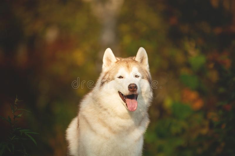 Close-up Portrait of gorgeous Beige Siberian Husky in fall season on a forest background stock photo