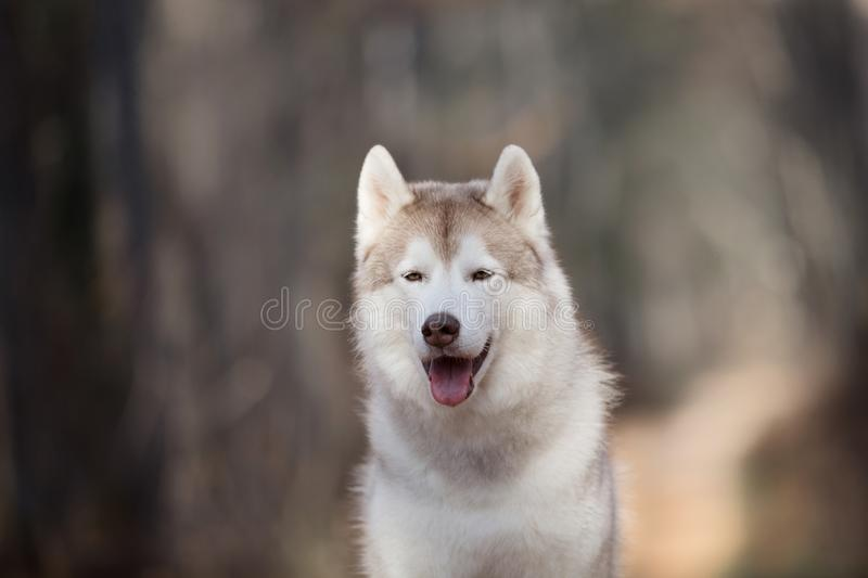 Close-up Portrait of gorgeous and free Beige dog breed Siberian Husky sitting in the fall forest at sunset stock photography