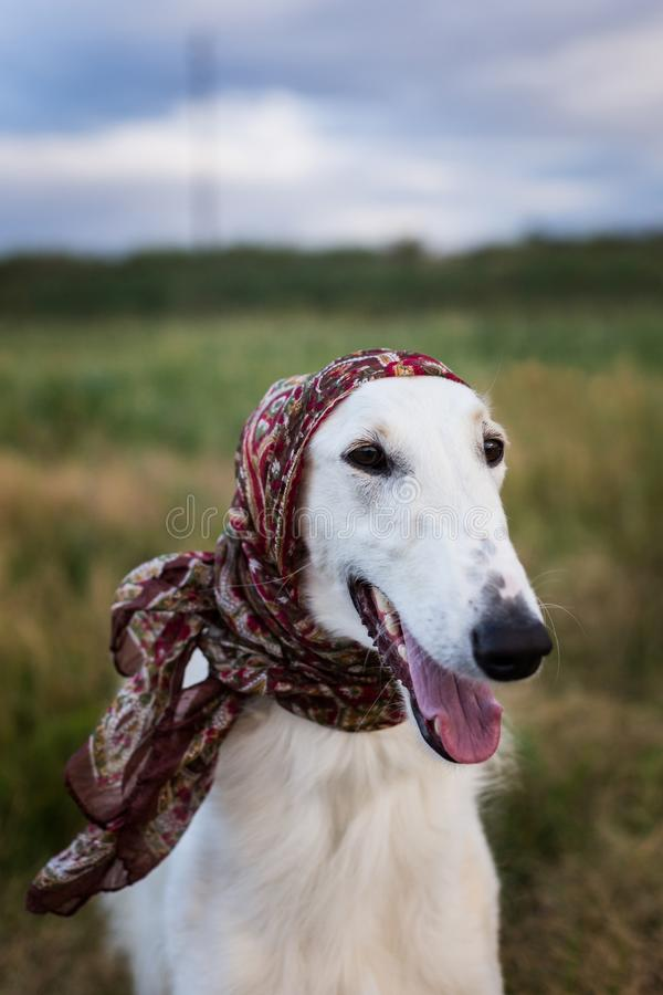 Close-up Portrait of gorgeous russian borzoi dog in the scarf a la russe on her head in the field stock photos