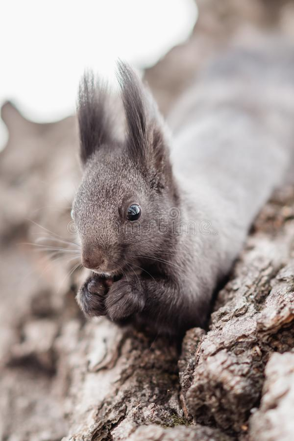 Close up portrait of gray squirrel with a nut royalty free stock image