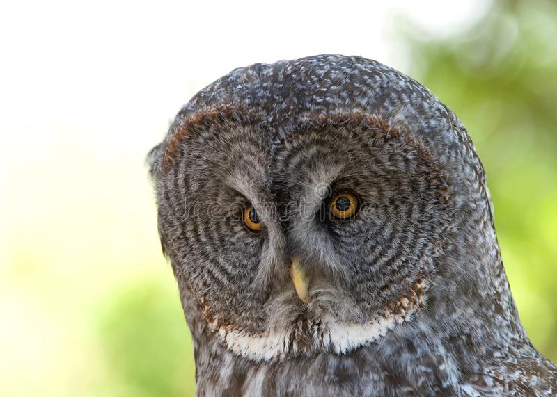 Close up portrait of a Great Grey Owl royalty free stock images