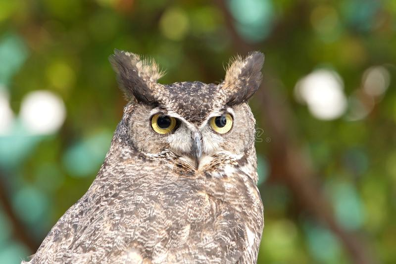 Close up portrait of a Great Horned Owl royalty free stock photos