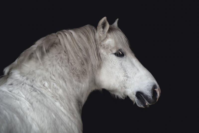 Grey belarusian draft gelding horse isolated on dark black background. Close up portrait of grey belarusian draft gelding horse isolated on dark black background stock photo