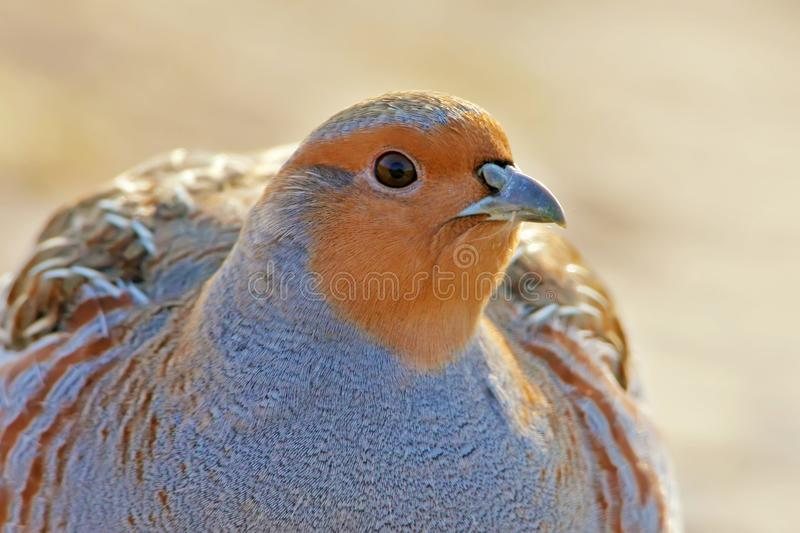 Close up portrait of grey partridge royalty free stock images