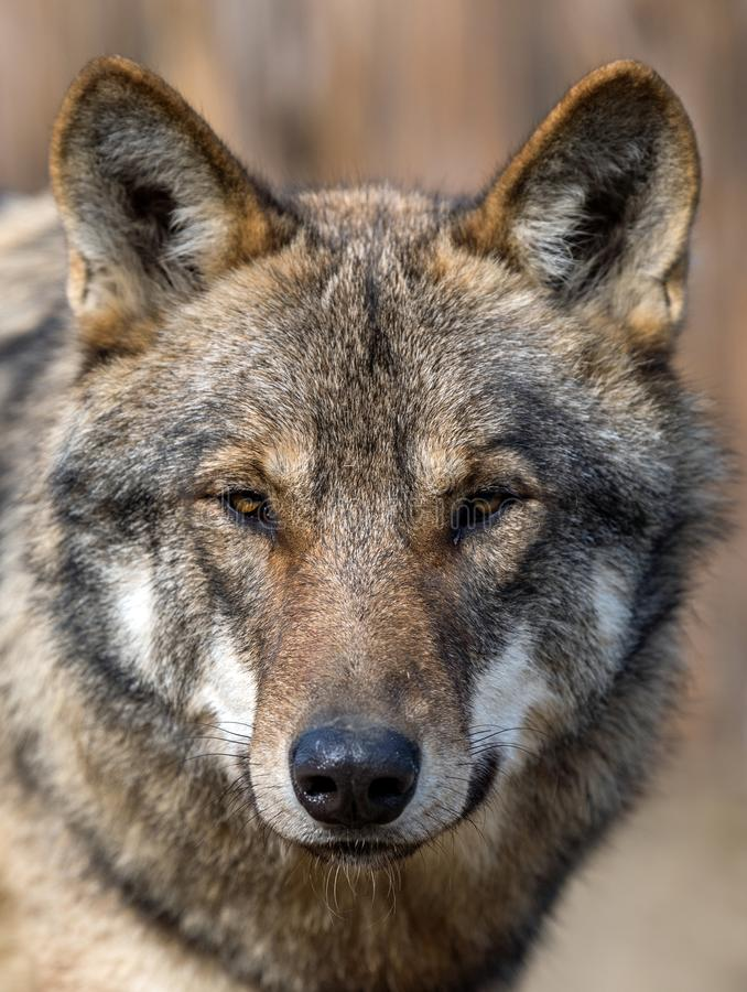 Close up portrait of a grey wolf Canis Lupus royalty free stock image