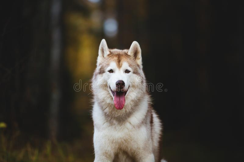 Close-up Portrait of happy Siberian Husky dog sitting in the bright autumn forest stock photos