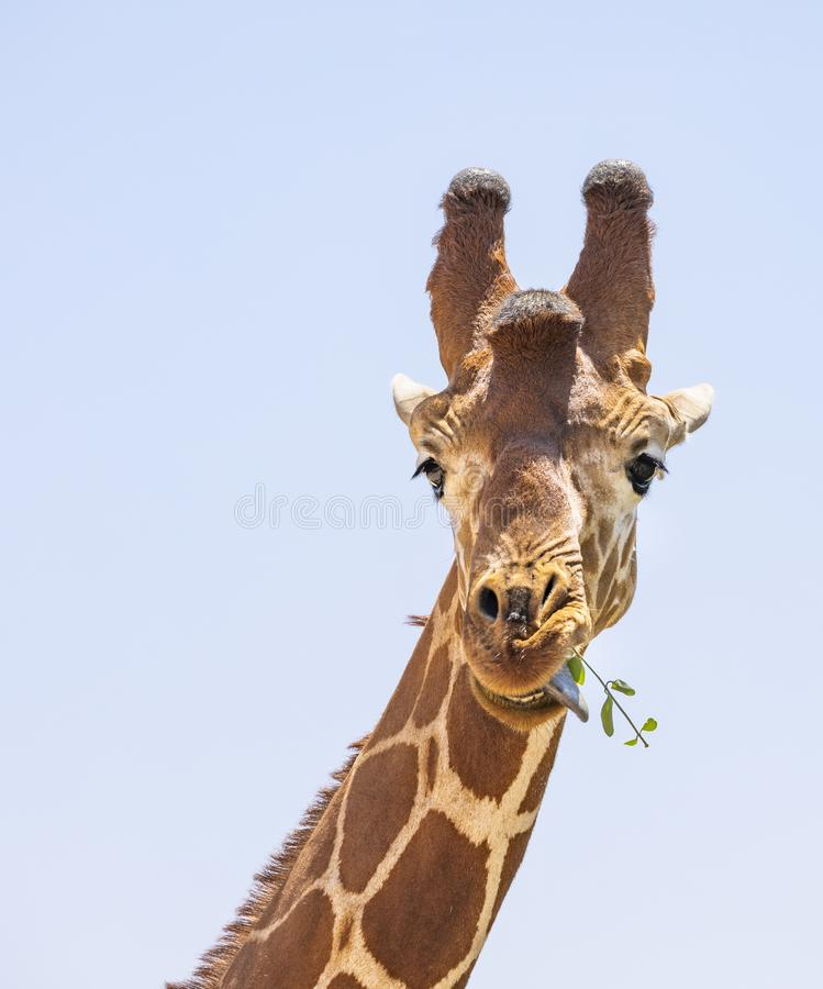 Close up portrait of head and neck of reticulated giraffe, giraffa camelopardalis reticulata, eating leaves and sticking tongue i royalty free stock photography