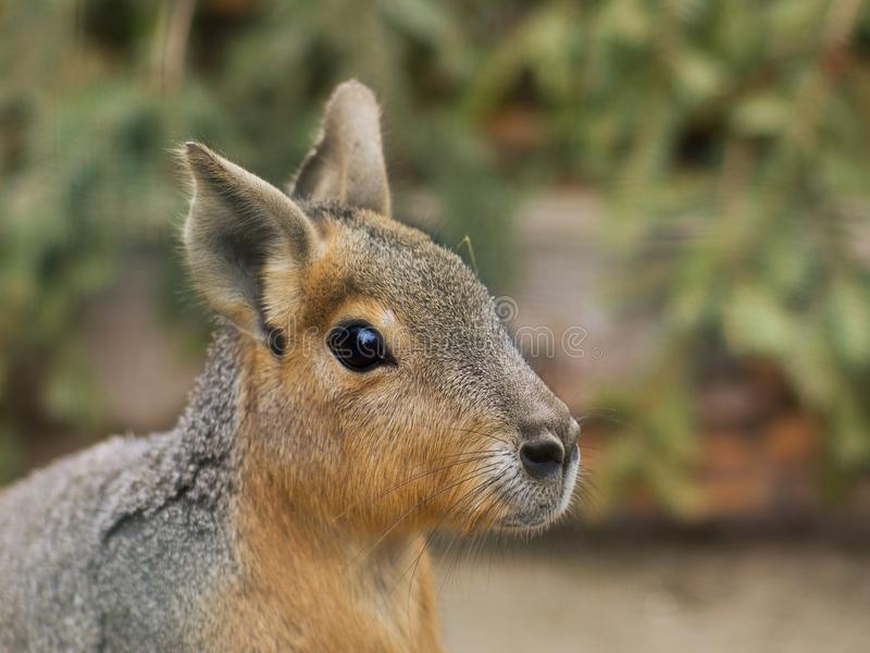 Close up portrait of the head of Patagonian Mara. This animal is a relatively large rodent in the mara genus. It is also known as the Patagonian cavy stock image