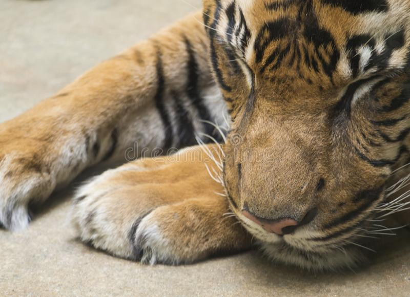Close up portrait head of Tiger sleeping with head on his paws. Malayan tiger, PANTHERA TIGRIS JACKSONI lying on the royalty free stock photos