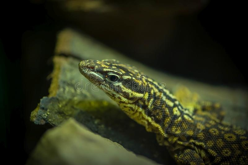 Close-up portrait of the head of a western green lizard - Lacerta bilineata stock image