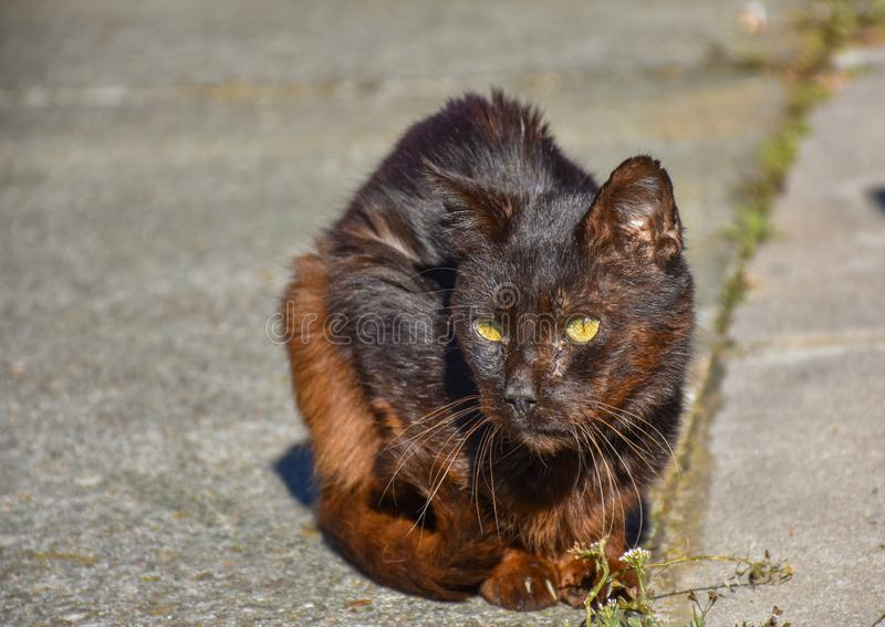 close up of a portrait of homeless dark brown cat very quiet on the sidewalk in a sunny day. The abandoned cat has got middle- royalty free stock photos