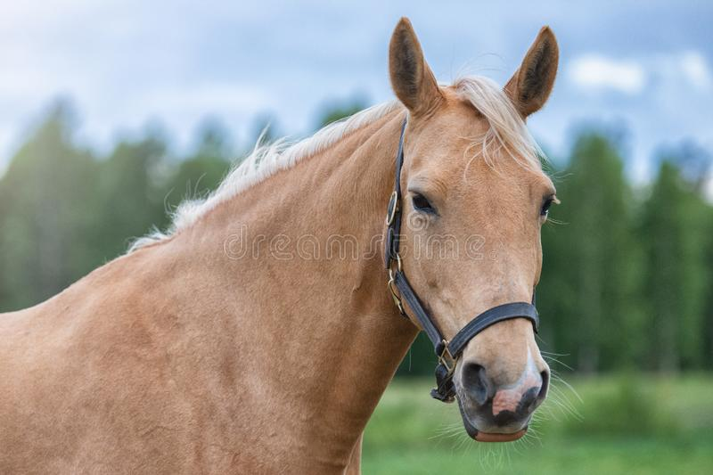 Close up portrait of a horse with green trees and blue sky at the background. Close up portrait picture of a horse with green trees and blue sky at the stock image