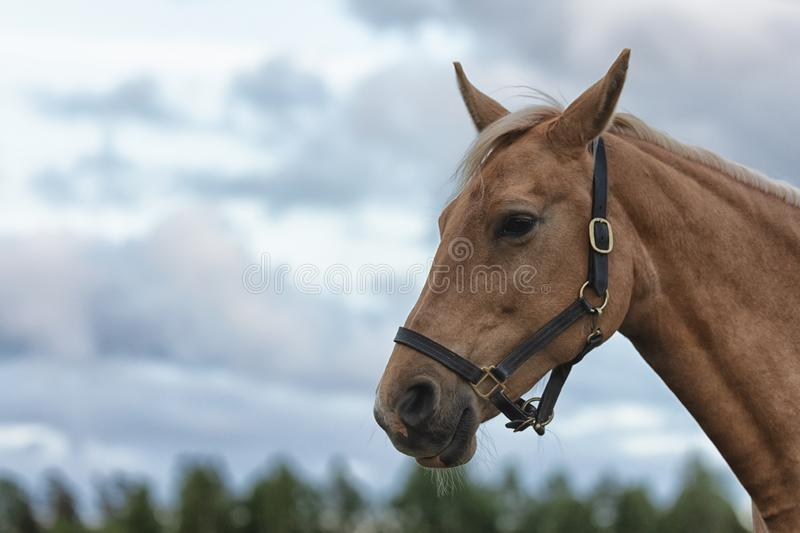 Close up portrait of a horse with green trees and blue sky at the background. Close up portrait picture of a horse with green trees and blue sky at the stock photo