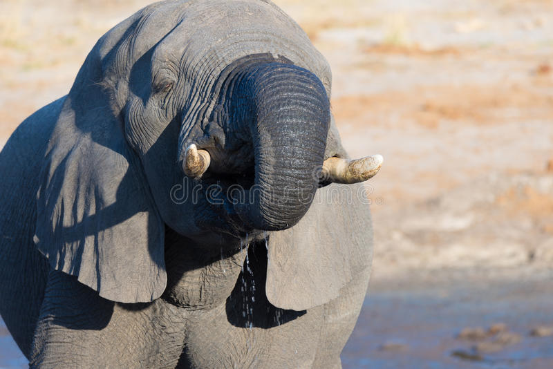 Close up and portrait of a huge African Elephant drinking from waterhole. Wildlife Safari in the Kruger National Park, the main tr stock photo