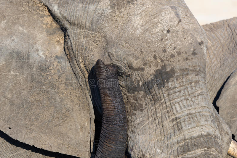 Close up and portrait of a huge African Elephant, with proboscis on the eye. Wildlife Safari in the Kruger National Park, the main. Travel destination in South stock image