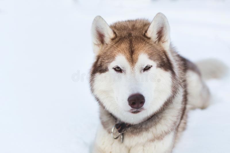 Close-up portrait of Husky dog lying and looking straight to the camera in winter forest royalty free stock photography