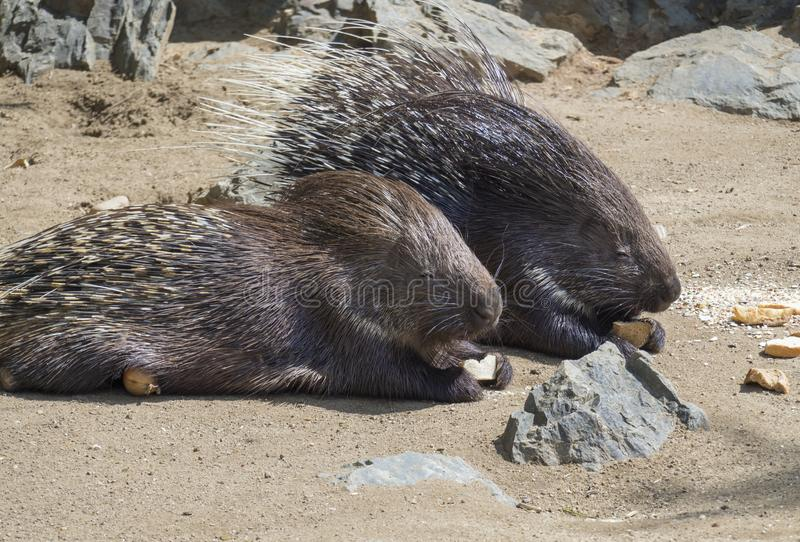 Close up portrait of Indian Crested Porcupine, Hystrix indica couple eating vegetables and bread, outdoor sand and rock royalty free stock images