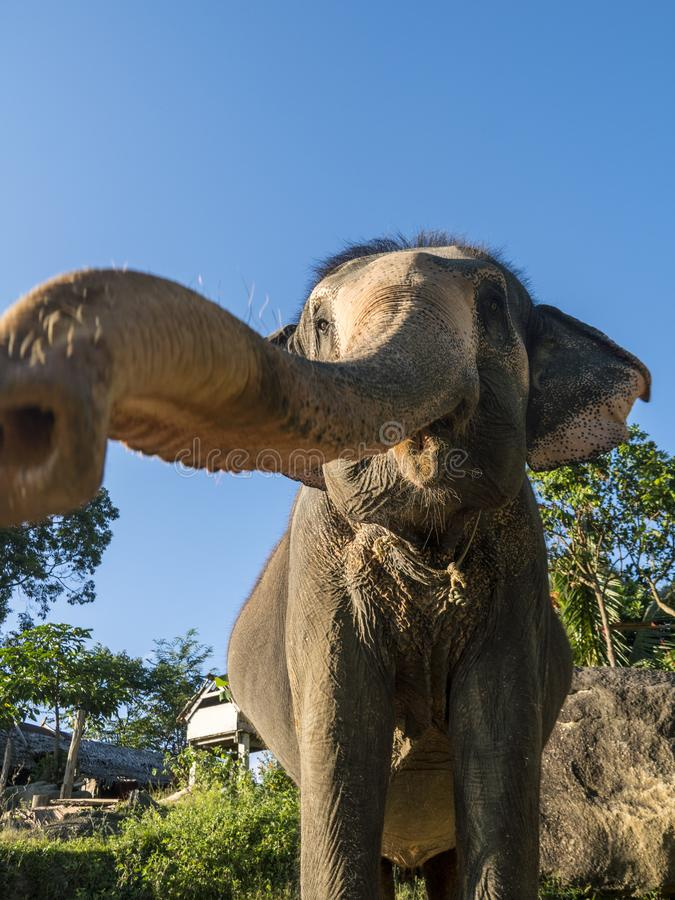 Close up portrait of Indian elephant with a trunk stretched to camera. stock photo