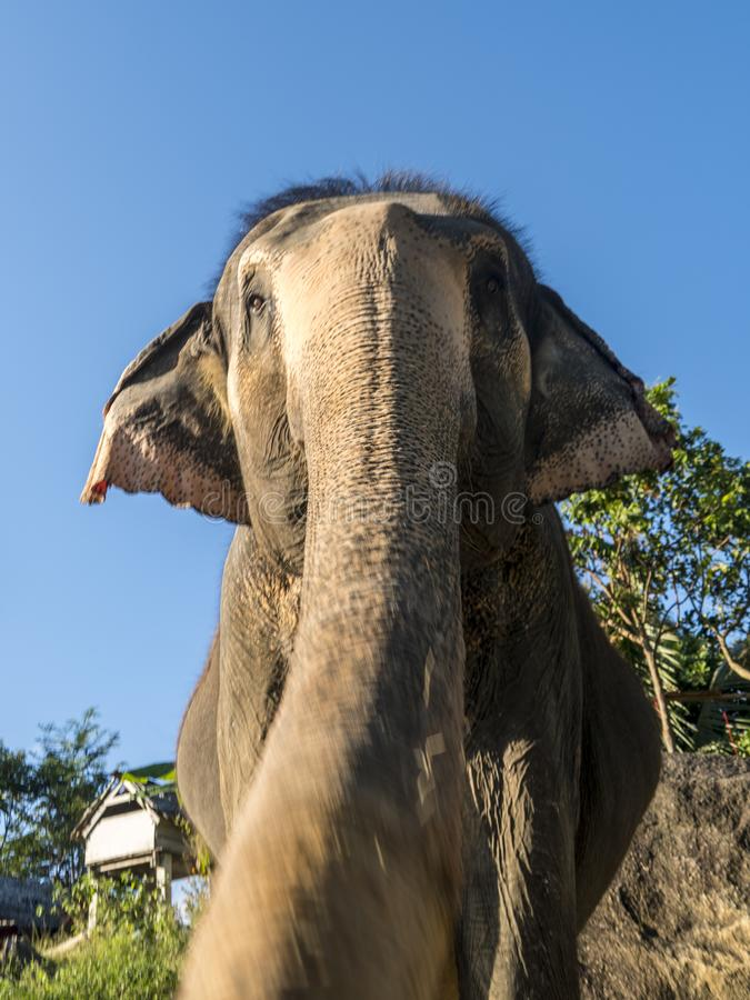 Close up portrait of Indian elephant with a trunk stretched to camera. royalty free stock photo