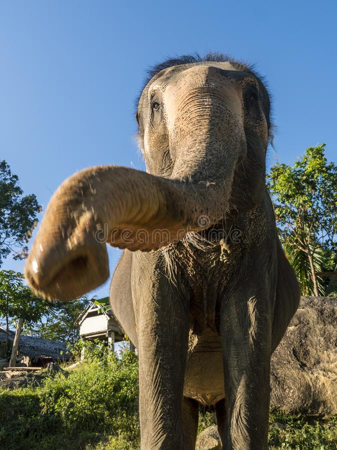 Close up portrait of Indian elephant with a trunk stretched to camera. stock photos