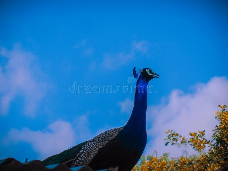 A close up portrait of indian peacock wit blue sky as a background.  stock photo