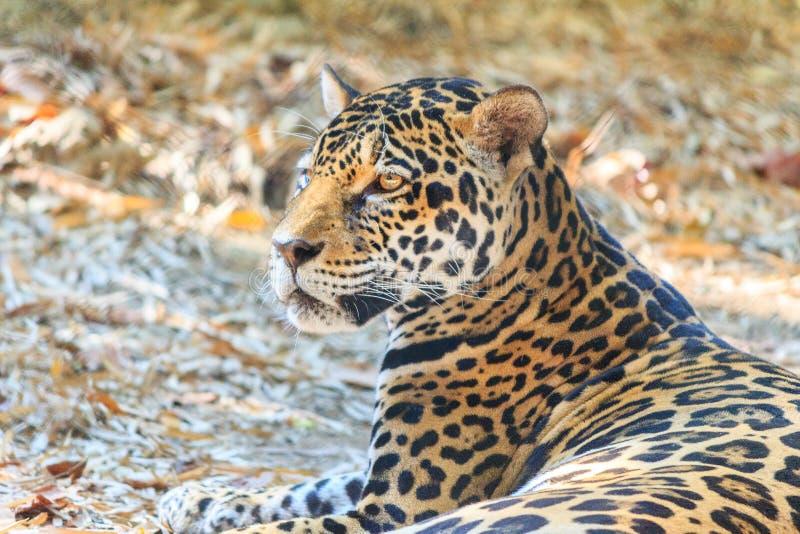 Close up portrait of Jaguar (Panthera onca) stock images