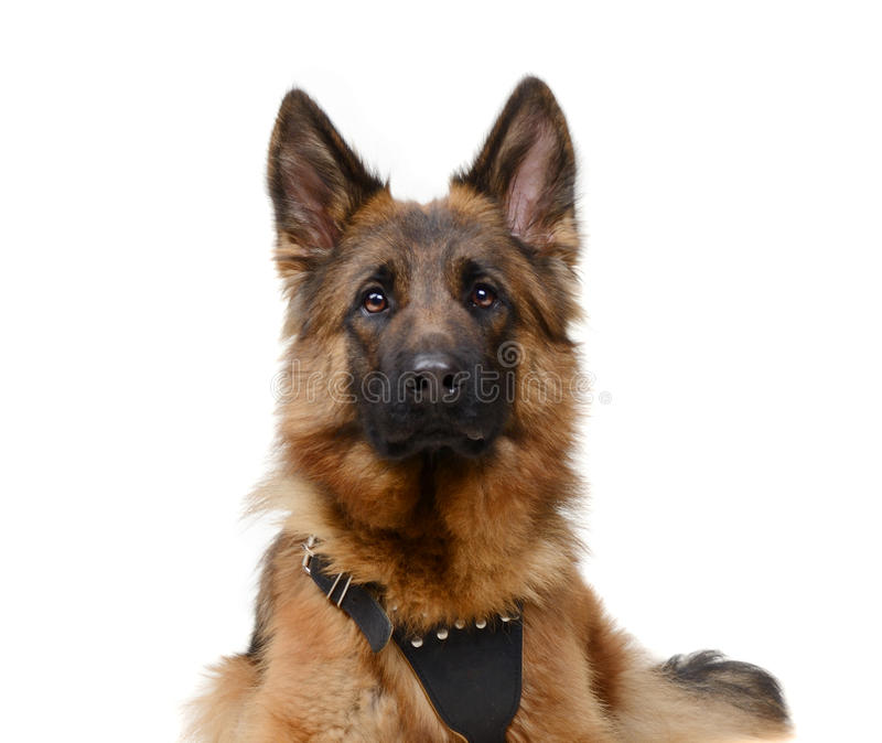 Close up Portrait of a junior Fluffy German Shepherd Dog Looking to the Camera. Two Years Old Pet. Close up Portrait of a Young Fluffy German Shepherd Dog stock photography