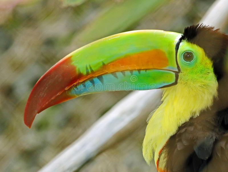 Toucan. Close up portrait of keel-billed tropical bird royalty free stock photo