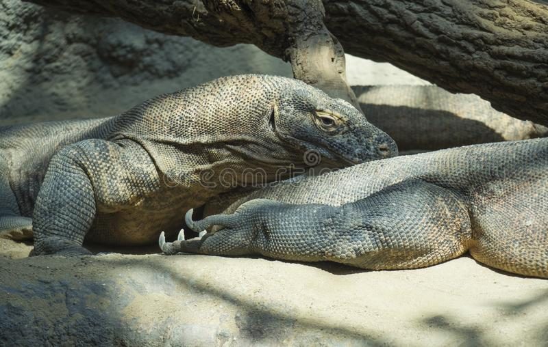 Close up portrait of Komodo Dragon lying anf resting. Varanus komodoensis also known as the Komodo monitor, is a large stock photography