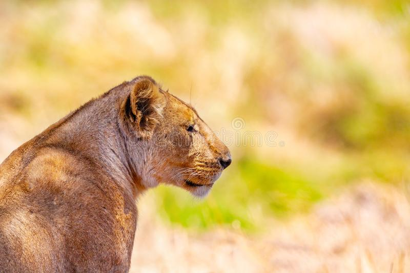 Close-up portrait of one large wild lion in Africa stock images
