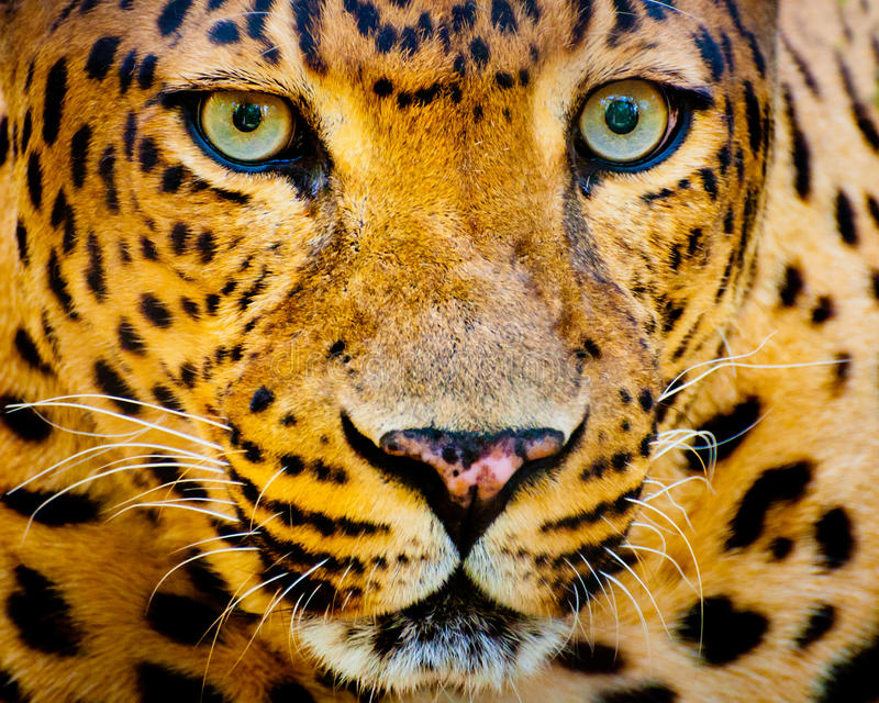 Close up portrait of leopard stock photography