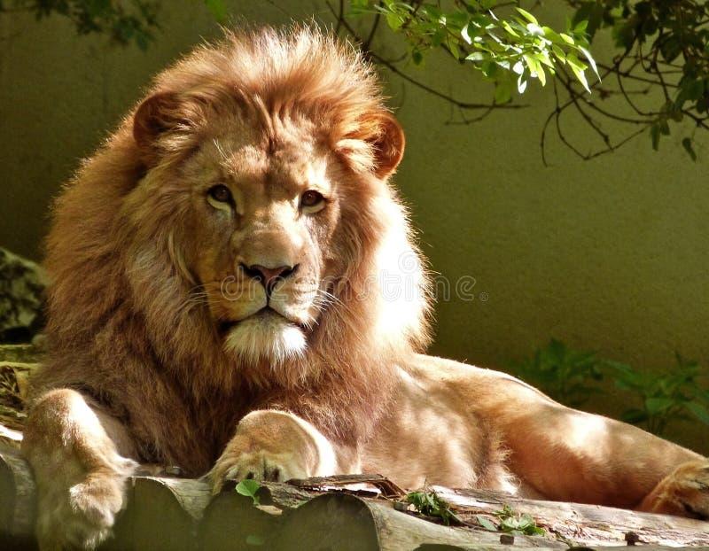 Close-up Portrait of Lion stock image