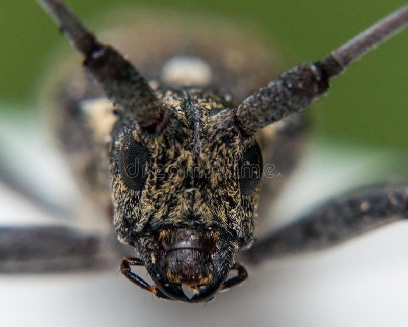 Close Up Portrait of Longhorn Beetle Face stock image