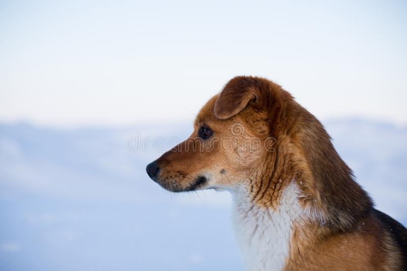 Close-up portrait of lovely mongrel dog. Profile portrait of beautiful red non pedigreed dog is on the snow background stock images