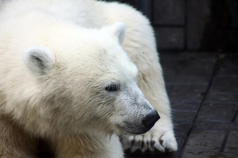 Close up portrait of lying polar bear royalty free stock image