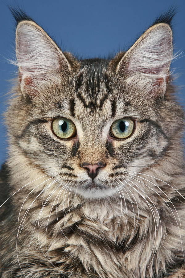 Download Close-up Portrait Of A Maine Coon Cat Stock Photo - Image: 17657106