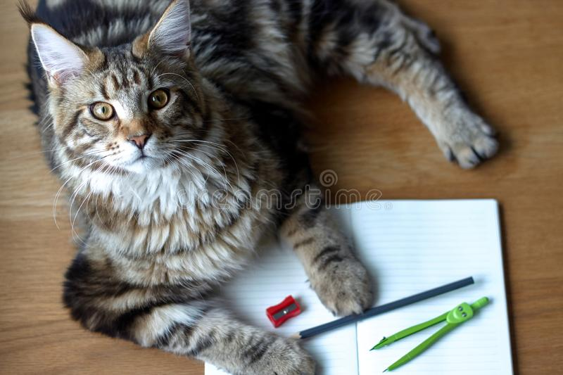 Close-up portrait of Maine Coon cat lies on a wooden table on an open notebook and blue pencil, selective focus, copyspace. Closeup portrait of Maine Coon cat royalty free stock photography