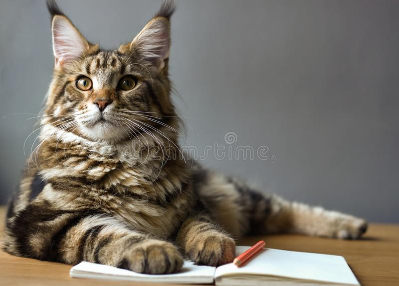 Close-up portrait of Maine Coon cat lies on a wooden table on an open notebook and a red pencil, selective focus, copy space. Closeup portrait of Maine Coon cat stock image